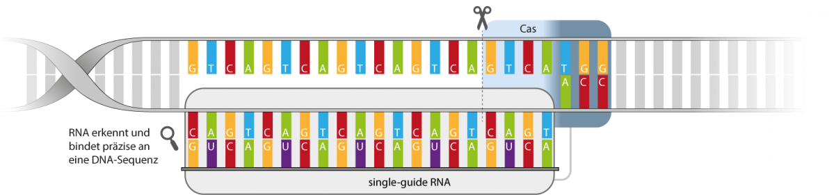 CRISPR (Clustered Regularly Interspaced Short Palindromic Repeats)/ (CRISPR associated) Cas-Systeme